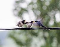 Swallows in the rain