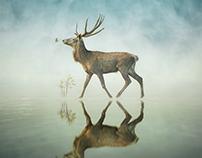 Animal Reflections.