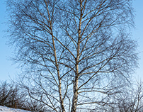 White birch on a hill