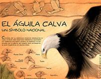 Bald Eagle (Águila Calva, pencils and digital)