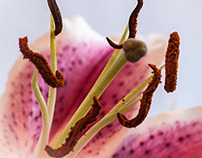 Lily - Macro