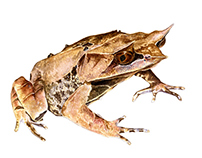 Long-nosed horned frog in watercolour