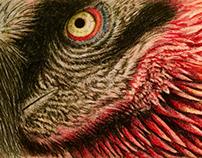 Bearded Bone Eating Vulture