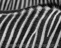 Zebra Study