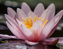 The first water lily in my pond
