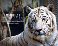 Royal Sibeiran Predator (Tigris) - Wildlife Photography