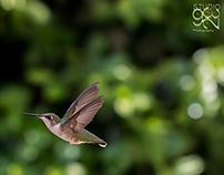 Humming Birds 0001