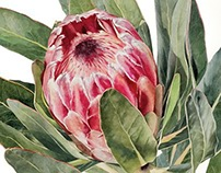 Protea in Watercolour