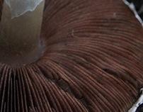 Meadow mushroom (Agaricus campestris)