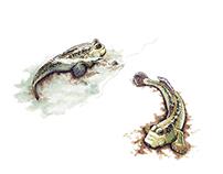 Giant Mudskippers