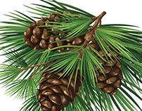 Cedar branch with cones