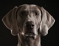 WEIMARANER DOG PORTRAITS / PHASE ONE IQ 250
