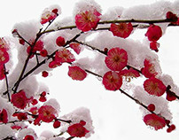 Plum blossom--chinese traditional culture