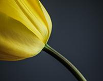 Tulip Portraits