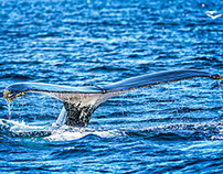 Humpback Whales in Newfoundland, Canada