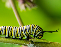 Monarch Caterpillar Macro