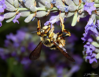 AVISPA DESCONOCIDA / UNKNOWN WASP