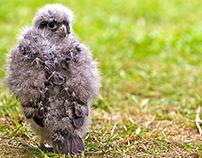 New Zealand Falcon (Karearea) - Part 1