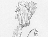 Cyclamen Pencil Drawing