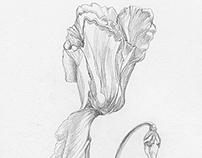 Cyclamen Pencil Drawing