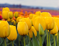 Tulip Festival in Mount Vernon Washington This Spring