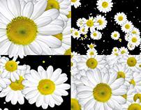 Chamomile Flowers - VJ Loop Pack (3in1)