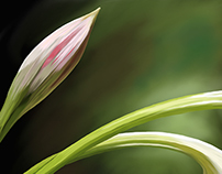 Closed Lilies