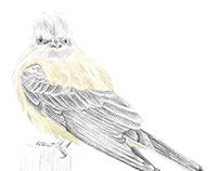 Ilustrações - pássaros