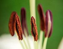 Lillies: Up close and personal