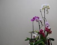 Orchids - Still life