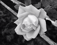 Rose, B&W