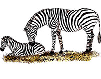 Sketches at the Zoo: the Zebras