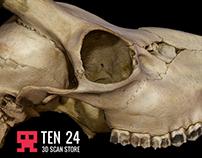 Roe Skull