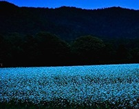 Buckwheat field in Hokkaido