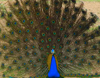 Indian Male Peacock Photography