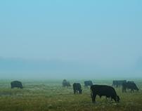 Cows & Fog