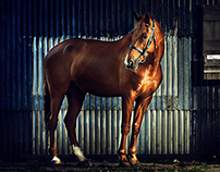 Proud Horses