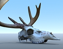 Animal Anatomy Study - Deer Skull