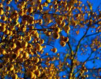 Golden Berries under an Azure Sky