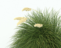 3d model of Pampas Grass, Cortaderia selloana