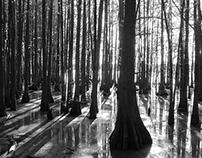 Southeastern Bald Cypress, Noxubee Wildlife Refuge