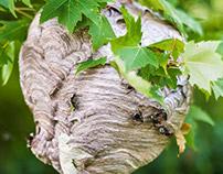 Nature - Hornet Nest