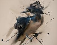 Barn Swallow Study