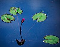 Lotus & Lily