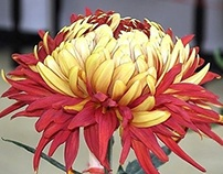 chinese tranditional culture-chrysanthemum