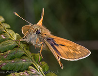 Large and Small Skipper Butterflies