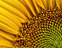 Sunflower - Macro