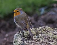 Cropping Robin