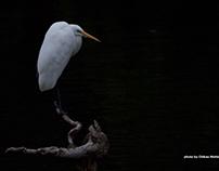 Egret & Heron