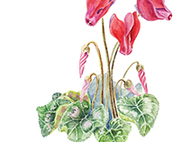Botanical Illustration: Cyclamen.